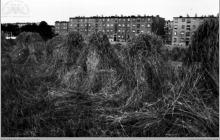 1967 - Żniwa w Boguszowicach. Wkrótce na tych polach powstaną nowe bloki osiedlowe - (foto ze zbiorów A. Vogel)
