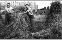 1967 - Żniwa po szychcie na kopalni. Wkrótce na tych polach powstaną nowe bloki osiedlowe - (foto ze zbiorów A. Vogel)